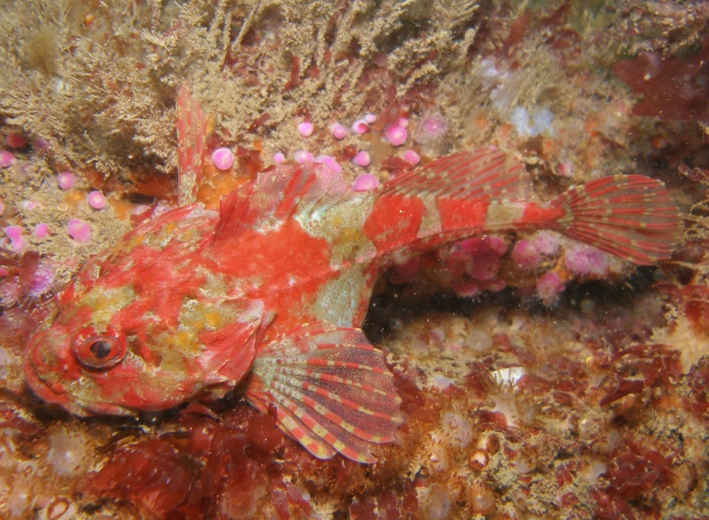 A scorpion fish on Hand Deeps
