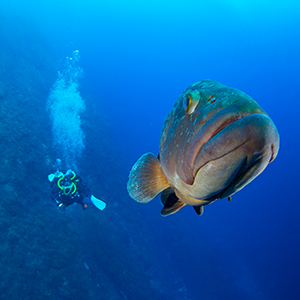 A grouper in The Med title=